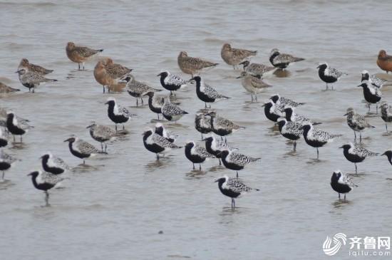 青岛:大潮日数万只候鸟奔赴滩涂 场面壮观(组图)