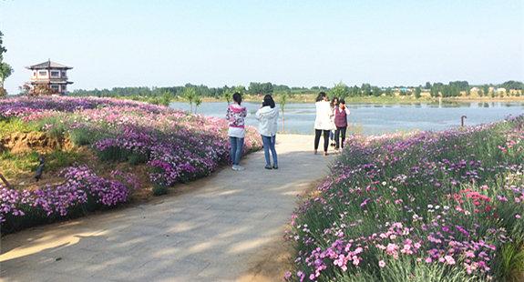 莒县沭河公园:石竹花开浅浅红