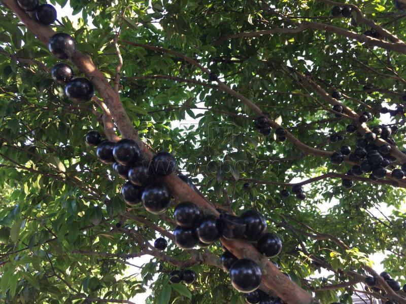 """重庆网络广播电视台记者兰天 田济申 澄江镇的树葡萄农庄有200亩长在树上的""""葡萄""""。这种外形和葡萄一样的水果名叫嘉宝果,其果肉富含水分、维他命C等15种以上的高营养成分,不仅能吃出山竹、荔枝等味道,用其做成的嘉宝果酒还能预防心血管疾病,增强抵抗力。虽然价格高达200元一斤,却仍颇受市场的欢迎。"""