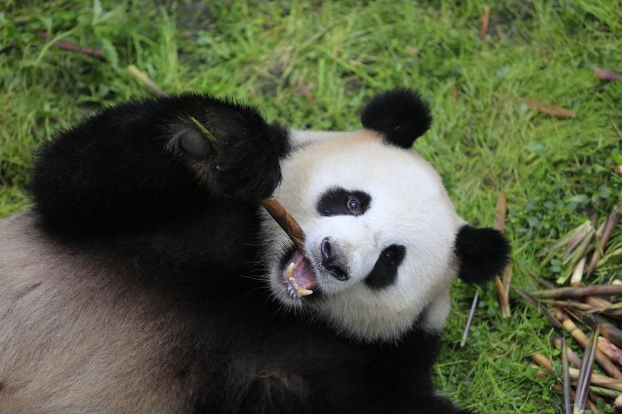 成都两只大熊猫将于明日赴德 入住德国柏林动物园