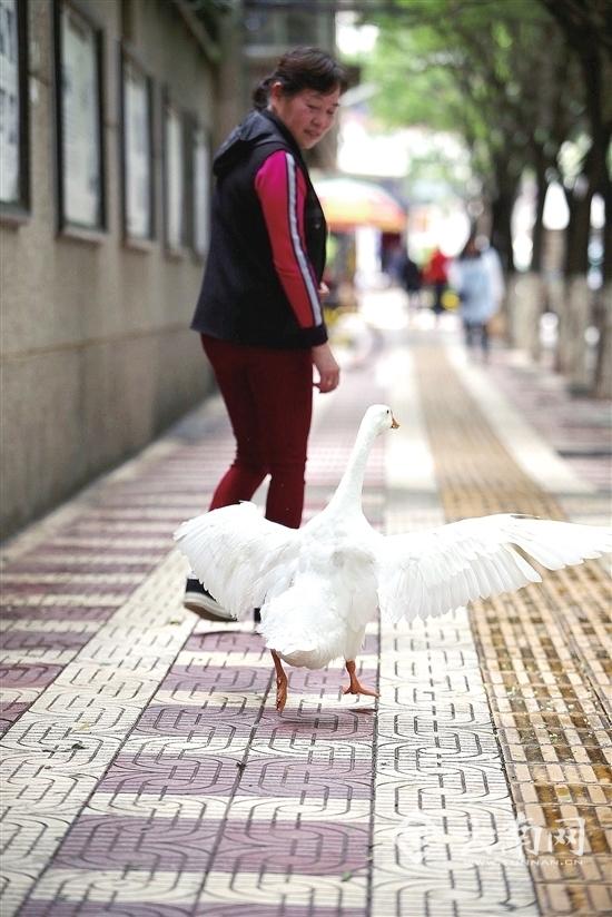 遛猫遛狗弱爆了 这位昆明阿姨街头遛白鹅