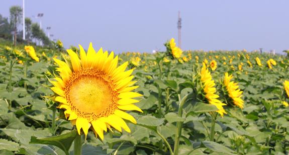 莒县沭河公园:百亩葵花将盛开 金色海洋等您来