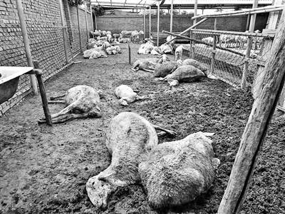 """百只羊疑吃""""毒大葱""""死亡"""