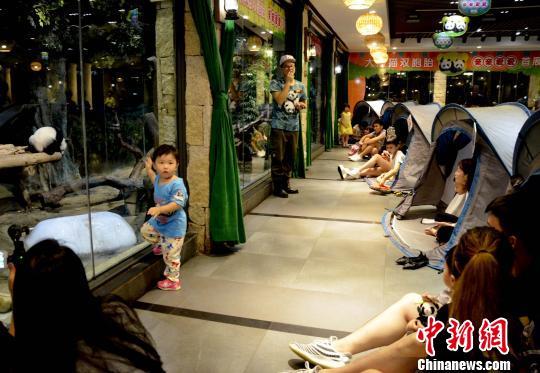 """广州长隆野生动物世界8日晚推出""""夜宿熊猫馆""""、""""夜探考拉馆""""项目,游客可与国宝同眠、与晨起的""""奇妙朋友们""""说早安。 王华 摄"""