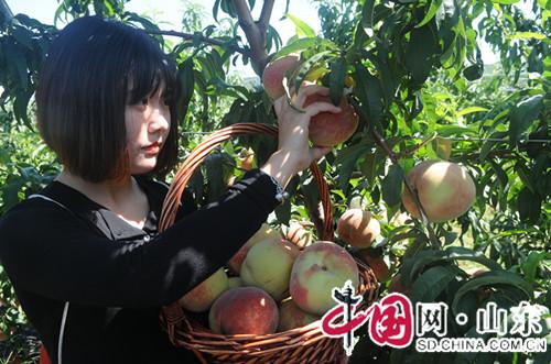 山东淄川富硒龙泉采摘季全面开园 2万斤鲜果等你摘(组图)