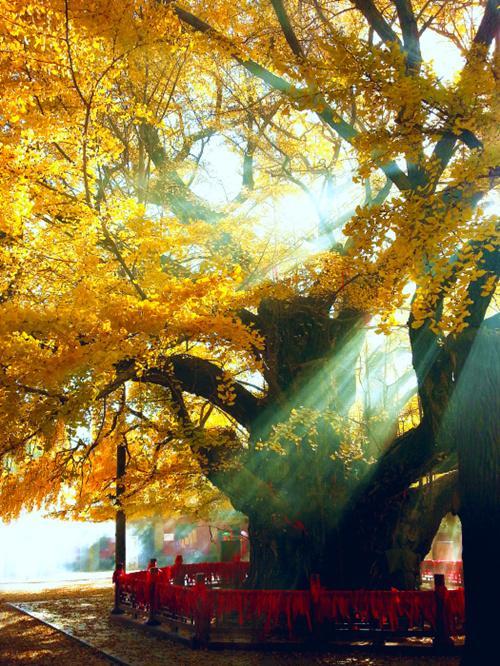 """莒县浮来山""""天下第一银杏树""""。(资料图)"""