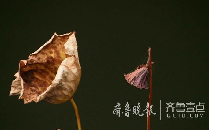 山东济南千佛山深秋荷韵 叶枯但仍孤傲(组图)