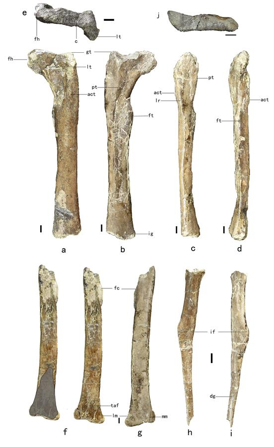 "(XHDW·图文互动)(2)山东诸城发现小型兽脚类恐龙""赵氏怪脚龙"""