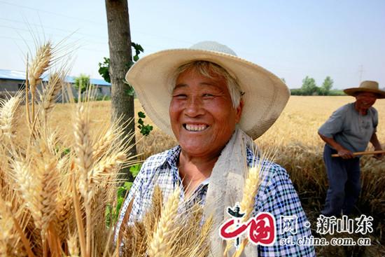 临沂市罗庄区17.2万亩小麦麦收工作全面展开