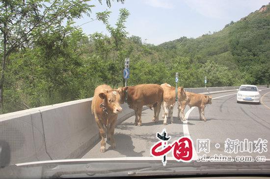 """10头牛公路惹隐患 博山警务助理助力找到""""牛主人"""""""