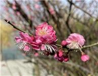 泰安:一抹春來 花開爭艷